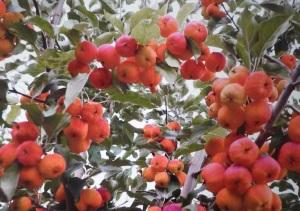 sieversii rouge