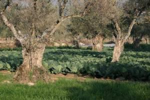 Choux cultivés sous oliviers