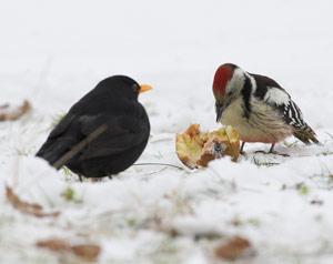 nourrir-oiseaux-pic